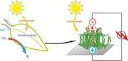 Halb-künstliches Blatt ist schneller als die Photosynthese: Proteine ersetzen Silicium